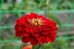 Fiore di rosso di zinnia fotografia stock