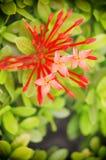 Fiore di rubiaceae Fotografia Stock Libera da Diritti