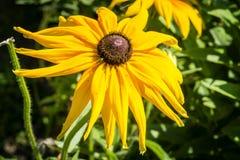Fiore di Rudbeckia Fotografia Stock