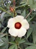 Fiore di sabdariffa dell'ibisco Immagini Stock Libere da Diritti