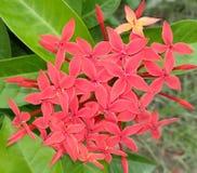 Fiore di Sadabahar immagini stock libere da diritti