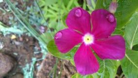 Fiore di Sadabahar Immagine Stock Libera da Diritti