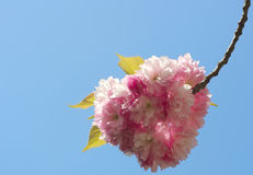 Fiore di Sakura Fotografia Stock Libera da Diritti
