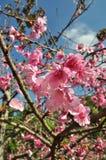 Fiore di Sakura immagine stock