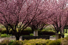 Fiore di Sakura Fotografie Stock