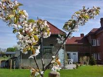 Fiore di Sakura Cherry nella mia azienda agricola Fotografia Stock