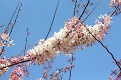 Fiore di Sakura in cielo Fotografia Stock