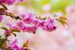 Fiore di sakura - ciliegia in Europa fotografie stock
