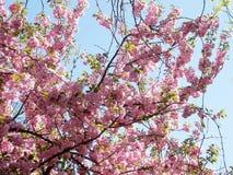 Fiore 2010 di sakura dell'angolo di Tysons Fotografia Stock