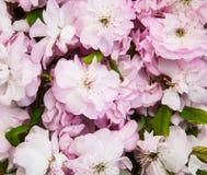 Fiore di sakura della primavera Fotografia Stock