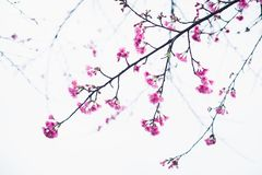 Fiore di Sakura nell'inverno fotografia stock libera da diritti