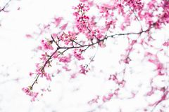Fiore di Sakura nell'inverno Fotografia Stock