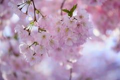Fiore di Sakura in primavera Fotografia Stock