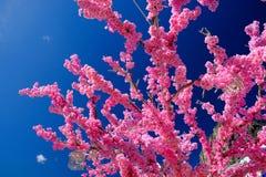 Fiore di Sakura su cielo blu Fotografia Stock