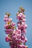 Fiore di Sakura sul fondo del cielo blu Fotografie Stock