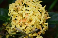 Fiore di Santan Immagini Stock