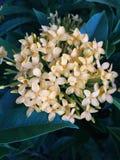 Fiore di Santan Fotografia Stock