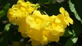 Fiore di schottii del Allamanda in un giardino immagini stock