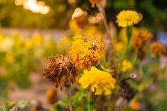 fiore di secchezza della calendula immagine stock