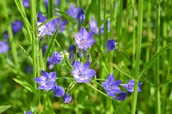 Fiore di segnalatore acustico blu Immagini Stock Libere da Diritti
