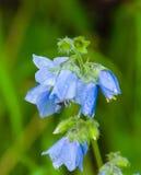 Fiore di segnalatore acustico blu Fotografia Stock Libera da Diritti