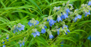 Fiore di segnalatore acustico blu Immagine Stock