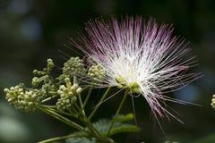 Fiore di seta dell'albero del Mimosa dell'Alabama Fotografia Stock