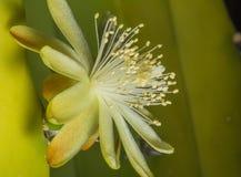Fiore di sguardo delicato di hildmannianus del saguaro del cactus della barriera Fotografie Stock Libere da Diritti