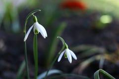 Fiore di Snowdrop Immagini Stock Libere da Diritti