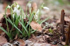Fiore di Snowdrop Fotografia Stock Libera da Diritti