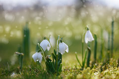 Fiore di Snowdrop in natura con le gocce di rugiada Fotografie Stock