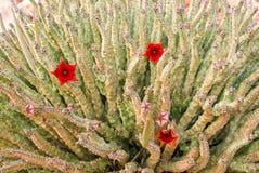 Fiore di Socotran Caralluma della pianta del cactus sull'isola di socotra fotografia stock libera da diritti