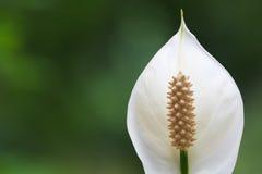 Fiore di Spathiphyllum del giglio di pace Immagine Stock