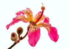 Fiore di speciosa di Chorisia sull'albero Fotografia Stock Libera da Diritti
