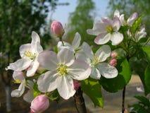 Fiore di spectabilis del Malus Fotografia Stock