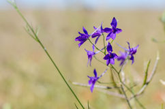 Fiore di speronella nel campo Fotografie Stock Libere da Diritti