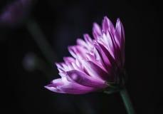 Fiore di Spraymum Fotografia Stock Libera da Diritti
