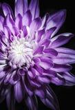 Fiore di Spraymum Immagini Stock