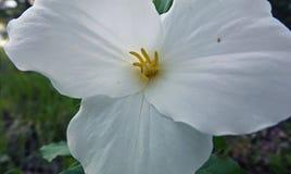 Fiore di stato Immagini Stock