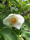 Fiore di Stewartia Fotografie Stock