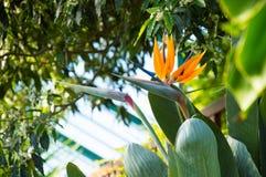 Fiore di strelitzia reginae che somiglia ad un uccello Fotografia Stock Libera da Diritti