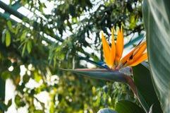 Fiore di strelitzia reginae che somiglia ad un uccello Fotografie Stock Libere da Diritti