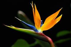 Fiore di strelizia Fotografia Stock