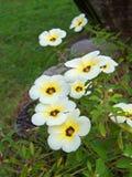 Fiore di subulata di Turnera Fotografia Stock Libera da Diritti