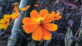 Fiore di Sun immagine stock