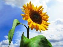 Fiore di Sun Fotografie Stock