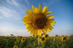Fiore di Sun Fotografia Stock