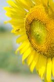 Fiore di Sun Immagini Stock Libere da Diritti