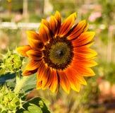 Fiore di Sun Fotografia Stock Libera da Diritti