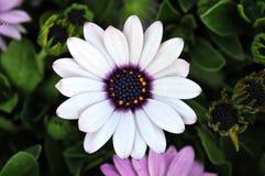 Fiore di Sun, bello Immagini Stock Libere da Diritti